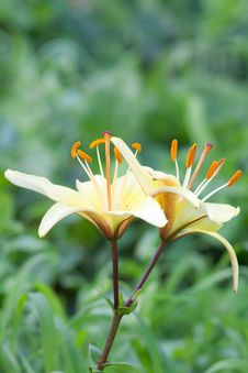 Free Yellow Lily Stock Photography - 17583862