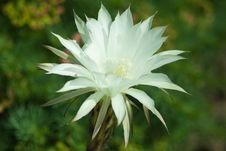 Free White Cactus Stock Photo - 17583890