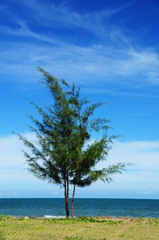 Free Pine Tree On The Beach Stock Photos - 17584163