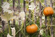 Free Pumpkin Farm Stock Photos - 17584223
