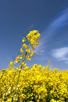 Free Rape Field Royalty Free Stock Images - 17584979