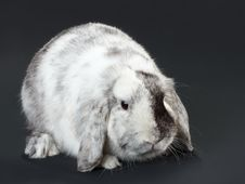 Free Rabbit. Royalty Free Stock Images - 17586309