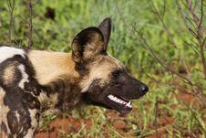 Free Wild Dog Stock Images - 17586604