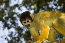 Free Bolivian Squirrel Monkey (Saimiri Boliviensis) Royalty Free Stock Image - 17586916