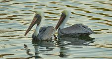 Free Brown Pelicans Royalty Free Stock Photo - 17586965