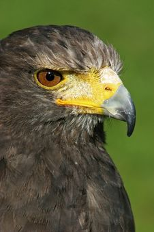 Free Eagle Staring At Prey Stock Images - 17588334