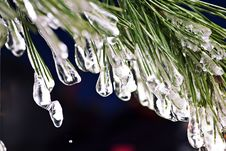 Free Fir Needle In The Ice Royalty Free Stock Photo - 17588475