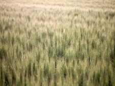 Free Green Wheat Field Stock Image - 17588921