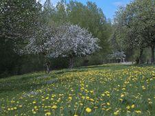 Free Spring Blossom Tree Royalty Free Stock Photos - 17589048
