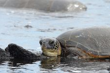 Free Sea Turtle Royalty Free Stock Images - 17591839