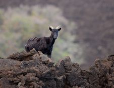 Free Black Goat Stock Photo - 17592000