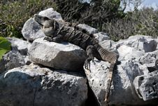 Free Mexican Grey Iguana Stock Photography - 17594182