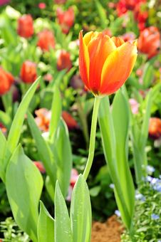 Free Orange Tulips Flower Royalty Free Stock Photography - 17594727