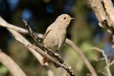 Free Female Black Redstart Stock Photos - 17596953