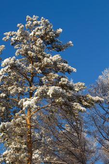 Free Tree  Snow   Pine Stock Photography - 17599782