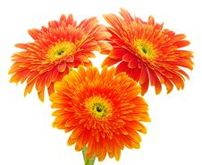 Free Orange Gerbera Stock Photography - 17599842