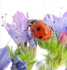 Free Ladybug Royalty Free Stock Image - 17599866