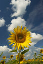 Free Field Of Sunflowers With Sky And Clouds. Stock Image - 1761191