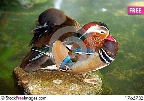 Free Mandarine Duck Stock Photography - 1765732