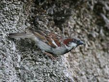Free Sparrow Stock Photo - 1760070