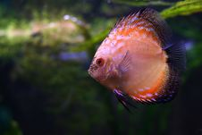 Free The Discus Fish N2 Royalty Free Stock Images - 1762159