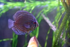 Free The Discus Fish N3 Stock Image - 1762191