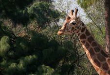 Free Giraffe Stock Images - 1764134