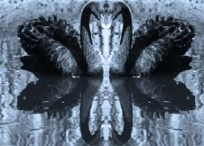 Free Two Black Swans Royalty Free Stock Images - 1764149