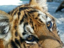 Young Tiger In Captivity Detail Royalty Free Stock Photo