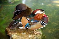 Mandarine Duck Stock Photography