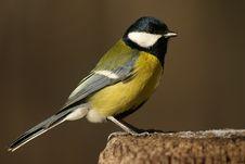 Free Tomtit Bird On The Stub Royalty Free Stock Photos - 1766398