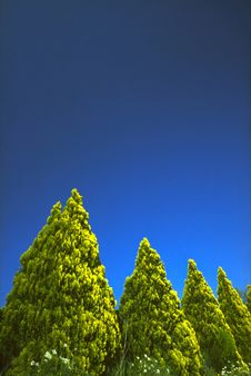 Free Coniferous Trees Royalty Free Stock Images - 1767259