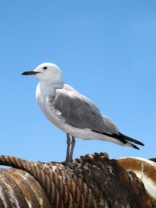 Free Lone Seagull On A Cable Wind. Stock Images - 1767284