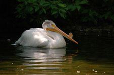 Free Swimming Pelican 2 Stock Images - 1768634