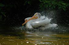Free Landing Of Pelican 4 Royalty Free Stock Photos - 1768668