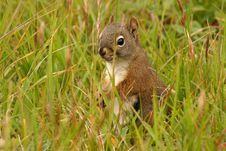 Free Squirrel Stock Photo - 1768940