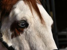 Blue-eyed Horse Royalty Free Stock Photo