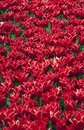 Free Red Tulips Royalty Free Stock Photos - 17604778