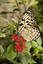 Free Paper Kite Butterfly (Idea Leuconoe) Stock Images - 17606094