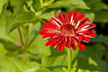 Free Bright Red Zinnia Royalty Free Stock Photo - 17606105