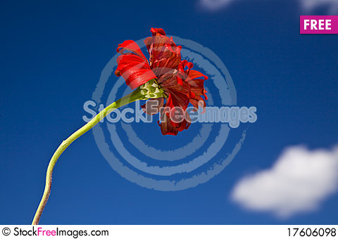 Red Zinnia Stock Photo