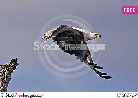 African fish eagle flying Stock Photo