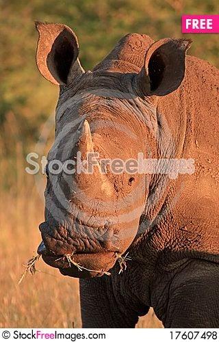 Free White Rhino Royalty Free Stock Photos - 17607498