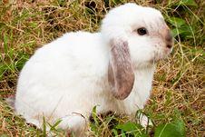 Free White Rabbit Stock Photo - 17601130