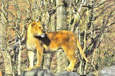 Free Lioness Stock Image - 17601201