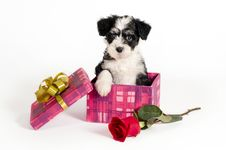Free Puppy For Present. Royalty Free Stock Photos - 17601388