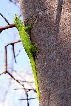 Free Madagascar Gecko Stock Photo - 17601450