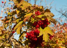 Free Red Viburnum Royalty Free Stock Photo - 17602605