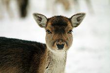 Free Fallow Deer Royalty Free Stock Images - 17602949