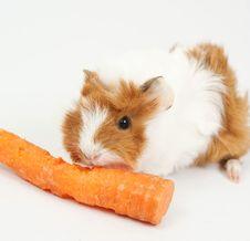 Free Guinea Pig Stock Image - 17602951